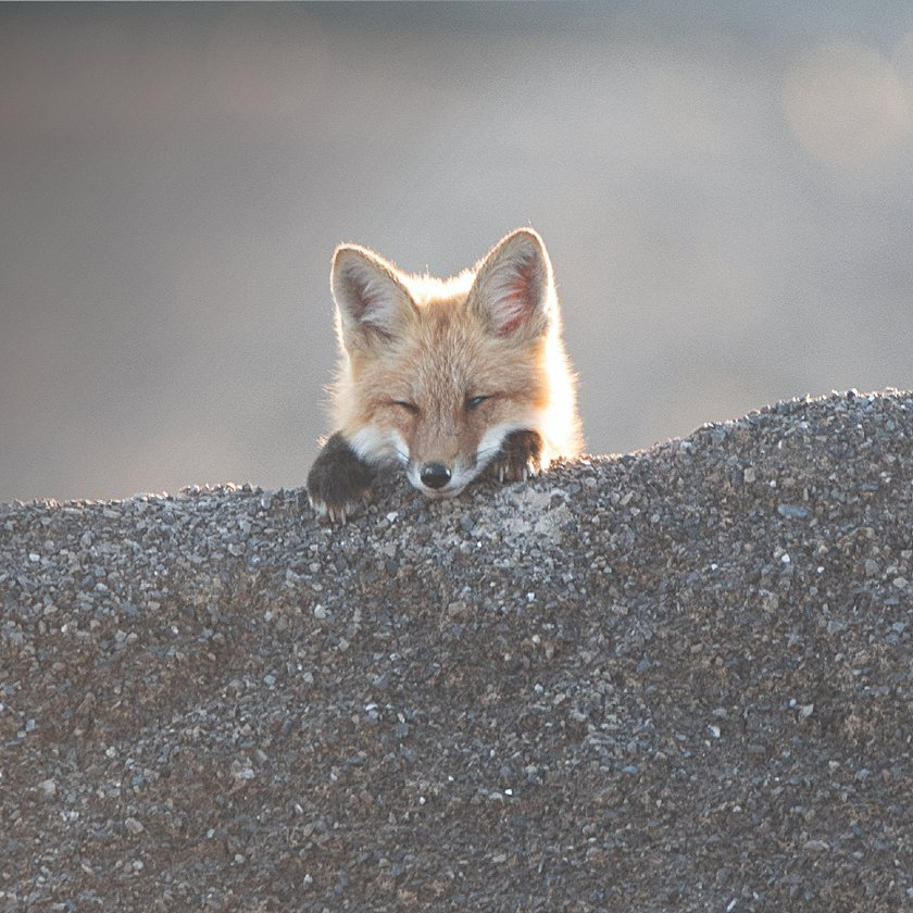 red fox in quarry